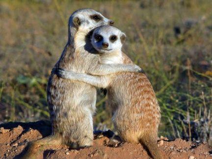 meerkats3d-02_51265_600x450